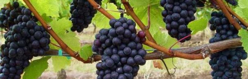 Выращивание винограда из удлинённой лозы: простой метод