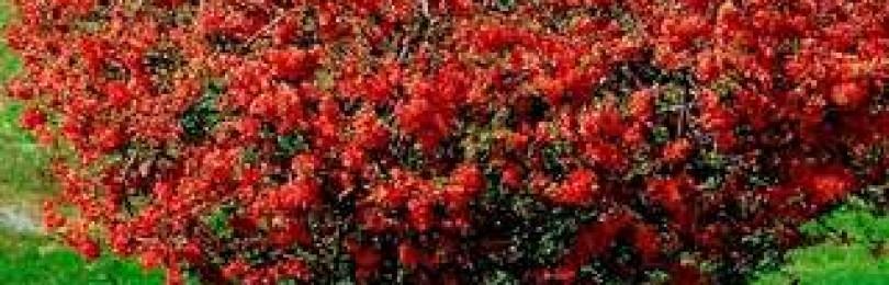 Зимостойкие декоративные кустарники (фото с названиями)