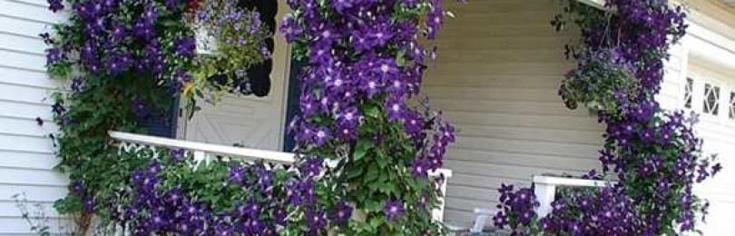 Цветок клематис на дачном участке: как посадить и ухаживать