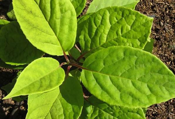 саженец лимонника посадить