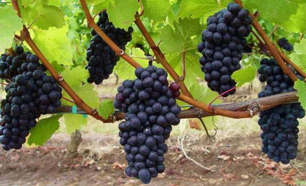 созревший черный виноград