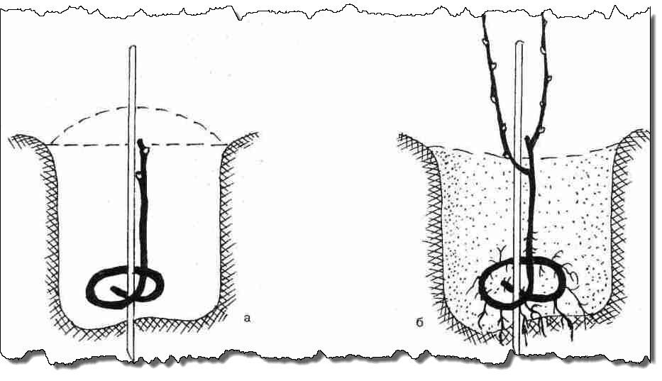 схема выращивания длинной лохой