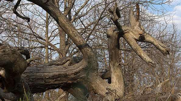 в лесу гнутые деревья