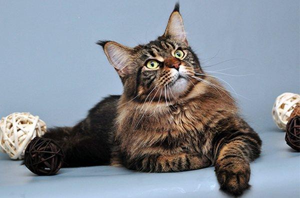 крысолов кот
