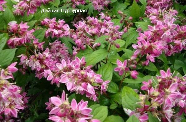 пурпурная калмифлора