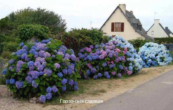 садовая гортензия