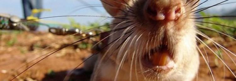 Что делать если в курятнике завелись крысы