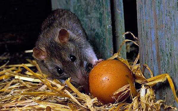 что делать крысы в курятнике